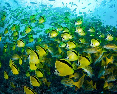 butterfly-fish-swarm-thomas-kotouc-malpelo_35